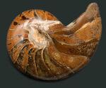 古生代、中生代、現世までその姿をほとんど変えていない生きた化石!およそ1億年前のオウムガイ(Nautilus)の標本