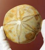 オブジェのように美しいジュラ紀のウニ化石