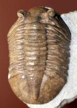 ガッチリとした印象の幅広のアサフス属ホルミ(Asaphus holmi)。クリーニングの行き届いた上質標本。