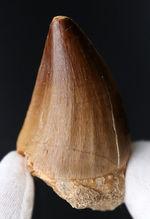 最強のモササウルスの名にふさわしい、周長9センチに達する、極太のプログナソドンの歯化石