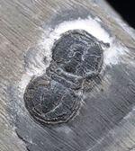果たして三葉虫なのか!?古生代カンブリア紀の一時期に現れて姿を消した変わり種の三葉虫、ペロノプシス(Peronopsis interstrictus)