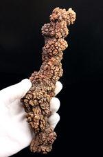 特大!21センチに達する海亀のものと思しき糞(ふん)の化石。通称、コプロライト(Coprolite)。約5000万年前の地層より採集。