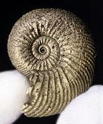 両面ともに凄まじい縫合線に覆われた、ロシア産黄鉄鉱化アンモナイト、クエンステッドセラス(Quenstedotoceras)の化石