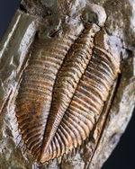 レア三葉虫、黄土色が特徴的な落ち葉のような三葉虫、コロノセファルス(Coronocephalus)の化石