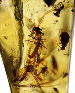 一体何匹内包されているのか!透明度この上なし!多種多様な虫が閉じ込められた、コーパル(Copal)化石