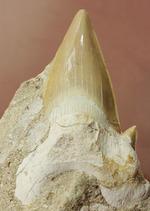 大ぶり、かつ状態抜群!新生代を生き抜いた古代ザメ歯、オトダス