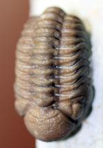 ベストクオリティの個体の一つ、米国産オクラホマ州産古生代デボン紀三葉虫パシファコプス。Fromブラックキャットマウンテン!