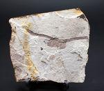 驚くほど硬い表皮を形成するシダ類、トクサ(砥草)の上質の茎の部分の化石。中国遼寧省産。