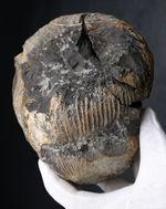 これぞ博物館級の希少標本!採集から半世紀以上の時を経てご紹介。レアを超えるレア。採集年と場所がはっきり明記された、淡路島産の異常巻きアンモナイト、ディディモセラス(Didymoceras)の化石。