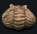 人気のパックマン!ロシア産の三葉虫、アサフス(Asaphus)のエンロール(防御)姿勢をとった化石