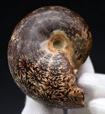 複雑かつ美麗な縫合線を楽しめる、マダガスカル産のアンモナイト(Ammonite)の化石