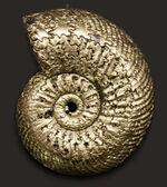ロシアが作った太古からの秘宝!黄鉄鉱化アンモナイト、クエンステッドセラス(Quenstedotoceras)の化石