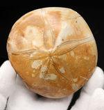 直径最大部8センチ弱という立派なウニ(サンドダラー)、クリピーステロイド(Clypeasteroid)の化石。陸上では恐竜が闊歩していた中生代ジュラ紀の標本