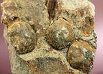 国産の絶滅ウニ、ムカシブンブク(Linthia nipponica)の化石