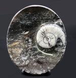 楕円形タイプ、ゴニアタイト(Goniatite)を含む石を加工した皿