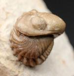 人気の米国産三葉虫、カイノプス(Kainops sp.)。エンロール姿勢をとった良質品。