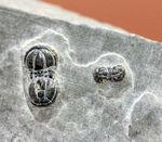 他とは一線を画した三葉虫、ぺロノプシス(Peronopsis sp.)。展示スタンド付き。