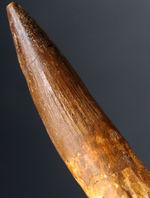チャンス到来!サイズ、状態、ディティール、どれをとっても上質のスピノサウルスの歯化石(Spinosaurus)。この歯化石には「ふさわしくない」リーズナブルプライスにてご提供!