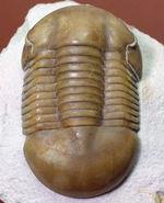パーフェクト標本!この離れ眼を御覧ください、ロシア産三葉虫イレヌス・インシスス(Illaenus incisus)