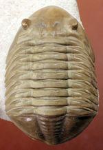 非常に立体的、特大!ロシア産アサフスの定番、レピドゥルス(Asaphus lepidurus)