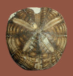 北海道産のウニの化石、珍妙な名前にご注目、トクナガムカシブンブク(Linthia tokunagai Lambert)