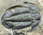 三葉虫のヘビーコレクター限定標本!貴方はこの三葉虫を知っていますか?三葉虫、パラセチュアネラ(Paraszechuanella sp.)