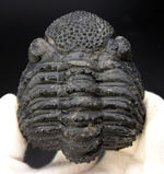 古生代デボン紀を代表する巨大な三葉虫、ドロトプス・メガロマニクス(Drotops megalomanicus)のエンロール(防御姿勢)をとった化石