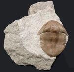 三葉虫コレクターならばいつかは手にしてしたいロシア産のレア三葉虫、イレヌス・シミュッティ(Illaenus schmidti)の極上品