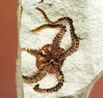 マニアック&レア!国産(千葉県君津市)のクモヒトデの化石。最も発展した棘皮動物。