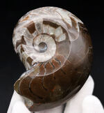 プレゼントにいかが?ダークブラウンとホワイトのツートンがきれいな、古生代の頭足類、ゴニアタイト(Goniatite)の化石