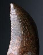 ご注目!ジェム級!美しいエナメル質と鋭いセレーションが保存された北米のティラノサウルス科(Tyrannosauride)の恐竜の歯化石