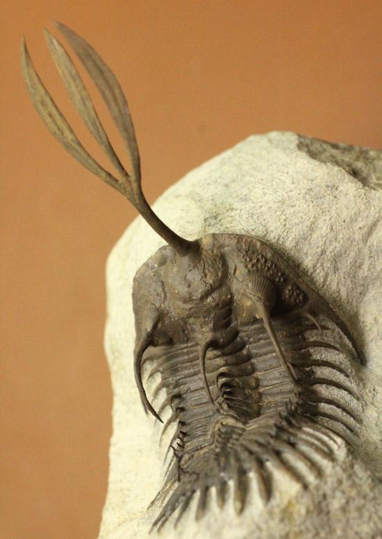 最も人気のある三葉虫の一つ、超絶クリーニング!ワリセロプス・ロングフォーク。悩ましいポーズにもご注目。/古生代デボン紀(4億1000万 -- 3億6700万年前)【tr524】