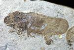 保存状態良好、翅脈が残された羽を持つセミと思しき昆虫の化石。