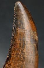 社史に残る1本。「最高の品以外要らぬ」という貴殿に送る、無欠のセレーションが両刃に備わった、100%ナチュラルのティラノサウルス・レックス(Tyrannosaurus rex)の歯化石
