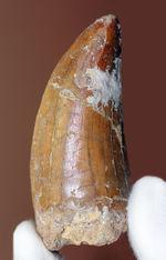 厚みがあり長い!カーブ計測74ミリに達する大きなカルカロドントサウルス(Carcharodontosaurus)の歯化石