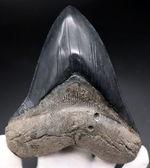 弊社で取り扱った中でも最大級!黒光りするエナメル質にご注目!メガロドン(Carcharocles megalodon)の歯化石