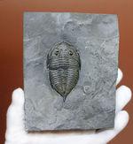 保存状態良好!典型的な特徴を備えた米国ニューヨーク州産三葉虫ダルマニテス(Dalmanites limulurus)