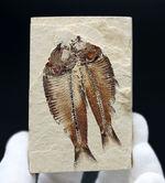 魚のひらきを思わせる、保存状態良好の上質のゴシウテクティス(Gosiutichthys)のマルチプレート化石