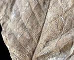 ザ・マニアックシリーズ!。羽状の葉脈がはっきりと保存された広葉樹の葉の化石。北海道三笠産