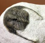 南部鉄器のような模様を持つ、一風変わった三葉虫、オンニア(Onnia sp.)。いい角度で自立展示できます。