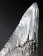 極めて上質なエナメル質とセレーションを備えた、青白い光沢を放つ、メガロドン(Carcharodon megalodon)の歯化石。