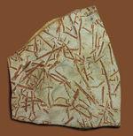 謎多き絶滅古代生物、フデイシ(Clonograptus rigidus)のマルチプレート標本