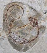 レア、数十年もののオールドコレクション!白亜紀の淡水を泳いでいたミニドラゴン、ヒファロサウルス(Hyphalosaurus lingyuanensis)の全身化石