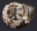 カラフル!ゴニアタイト(Goniatite)の化石