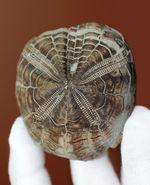 保存状態極めて良好、色も残された美しき国産のトクナガムカシブンブク(Linthia tokunagai lambert)の化石
