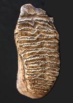最大級サイズ、重量を誇り、かつ保存状態もパーフェクト!6キロ超え、30センチに迫る、ケナガマンモス(Mammuthus primigenius)の特大の臼歯化石