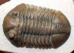 丁寧なクリーニングにご注目ください!ロシア産三葉虫、アサフス・ロブスタス(Asaphus robustus)