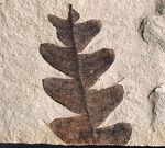 国産マニアック化石シリーズ!極めて状態良好!国産ナウマンヤマモモ(Comptoniphyllum naumanni)の葉化石