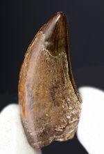 粒が見えるセレーションが保存されたティラノサウルス・レックス幼体の歯化石(Tyrannosaurus rex)。オールナチュラル、美しいカーブにもご注目!