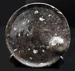 古生代デボン紀に棲息していたゴニアタイトやオルソセラスを使ったプレート化石。お皿としても利用可能!